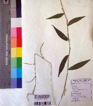 (Oplismenus - DNAFR001019)  @11 [ ] Copyrights (2015) Gujarat Biodiversity Gene Bank Gujarat Biodiversity Gene Bank