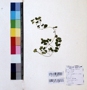 (Oxalis corniculata - DNAFR000960)  @11 [ ] Copyrights (2015) Gujarat Biodiversity Gene Bank Gujarat Biodiversity Gene Bank, GSBTM, DST, GoG, India