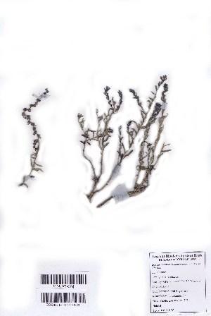 (Suaeda monoica - DNAFR001002)  @11 [ ] Copyright (2015) Gujarat Biodiversity Gene Bank, GSBTM, DST, GoG Gujarat Biodiversity Gene Bank, GSBTM, DST, GoG