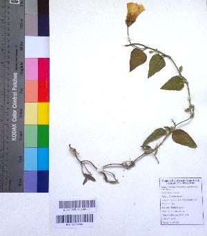 (Operculina - DNAFR001041)  @11 [ ] Copyright (2015) Gujarat Biodiversity Gene Bank, GSBTM, DST, GoG Gujarat Biodiversity Gene Bank, GSBTM, DST, GoG