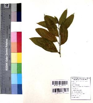 (Cestrum nocturnum - DNAFR001060)  @11 [ ] Copyrights (2015) Gujarat Biodiversity Gene Bank, GSBTM, DST, GoG Gujarat Biodiversity Gene Bank, GSBTM, DST, GoG