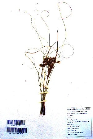 (Eriophorum comosum - DNAFR001109)  @11 [ ] Copyrights (2015) Gujarat Biodiversity Gene Bank, GSBTM, DST, GoG Gujarat Biodiversity Gene Bank, GSBTM, DST, GoG