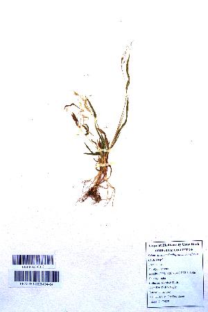 (Capillipedium - DNAFR001110)  @11 [ ] Copyrights (2015) Gujarat Biodiversity Gene Bank, GSBTM, DST, GoG Gujarat Biodiversity Gene Bank, GSBTM, DST, GoG