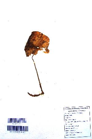 (Nervilia - DNAFR001099)  @11 [ ] Copyrights (2015) Gujarat Biodiversity Gene Bank, GSBTM, DST, GoG Gujarat Biodiversity Gene Bank, GSBTM, DST, GoG