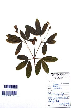 (Ravenia - DNAFR001112)  @11 [ ] Copyright (2015) Gujarat Biodiversity Gene Bank, GSBTM, DST, GoG Gujarat Biodiversity Gene Bank, GSBTM, DST, GoG