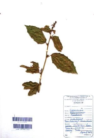 (Baliospermum - DNAFR001104)  @11 [ ] Copyrights (2015) Gujarat Biodiversity Gene Bank, GSBTM, DST, GoG Gujarat Biodiversity Gene Bank, GSBTM, DST, GoG