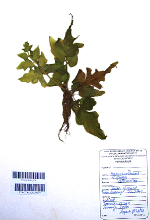 (Gardenia - DNAFR001106)  @11 [ ] Copyright (2015) Gujarat Biodiversity Gene Bank, GSBTM, DST, GoG Gujarat Biodiversity Gene Bank, GSBTM, DST, GoG