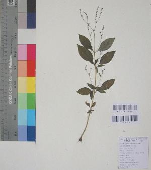 (Mitreola - DNAFR001176)  @11 [ ] Copyrights (2015) Gujarat Biodiversity Gene Bank, GSBTM, DST, GoG Gujarat Biodiversity Gene Bank, GSBTM, DST, GoG