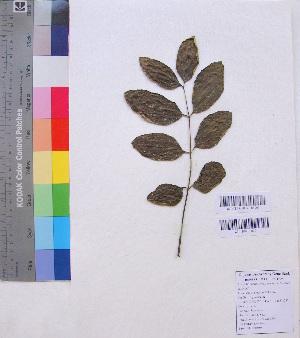 (Bignoniaceae - DNAFR001179)  @11 [ ] Copyrights (2015) Gujarat Biodiversity Gene Bank, GSBTM, DST, GoG Gujarat Biodiversity Gene Bank, GSBTM, DST, GoG