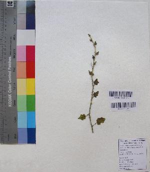 (Solanum trilobatum - DNAFR001181)  @11 [ ] Copyrights (2015) Gujarat Biodiversity Gene Bank, GSBTM, DST, GoG Gujarat Biodiversity Gene Bank, GSBTM, DST, GoG