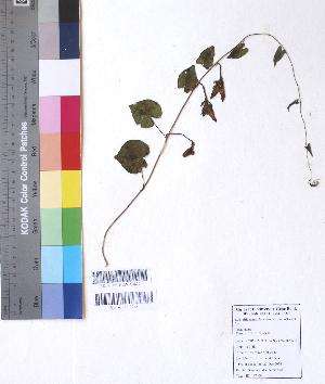 (Convolvulaceae - DNAFR001069)  @11 [ ] Copyrights (2015) Gujarat Biodiversity Gene Bank, GSBTM, DST, GoG Gujarat Biodiversity Gene Bank, GSBTM, DST, GoG