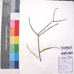 (Euphorbia tirucalli - DNAFR001218)  @11 [ ] Copyright (2015) Gujarat Biodiversity Gene Bank, GSBTM, DST, GoG Gujarat Biodiversity Gene Bank, GSBTM, DST, GoG