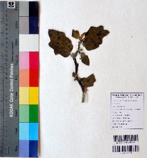 (Solanum melongena - DNAFR001130)  @11 [ ] Copyrights (2015) Gujarat Biodiversity Gene Bank, GSBTM, DST, GoG Gujarat Biodiversity Gene Bank, GSBTM, DST, GoG