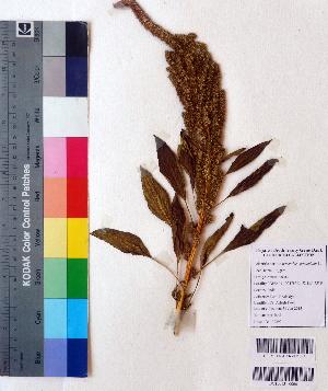 (Amaranthus paniculatus - DNAFR001121)  @11 [ ] Copyrights (2015) Gujarat Biodiversity Gene Bank, GSBTM, DST, GoG Gujarat Biodiversity Gene Bank, GSBTM, DST, GoG
