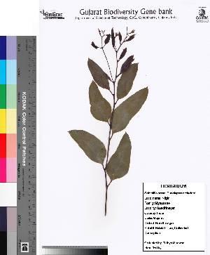 (Eucalyptus sp - DNAFR000123)  @11 [ ] Copyright (2013) Gujarat Biodiversity Gene Bank, GSBTM, GoG, India. Gujarat Biodiversity Gene Bank, GSBTM, GoG, India.
