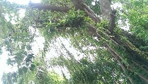 (Ficus elastica - DNAFR000737)  @11 [ ] Copyright (2016) Gujarat Biodiversity Gene Bank, GSBTM, DST, GoG Gujarat Biodiversity Gene Bank, GSBTM, DST, GoG