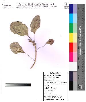 (Ficus benghalensis var. krishnae - DNAFR000085)  @11 [ ] Copyright (2012) Unspecified Gujarat State Biotechnology Mission