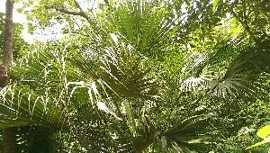 (Livistona - DNAFR000757)  @11 [ ] Copyrights (2016) Gujarat Biodiversity Gene Bank, GSBTM, DST, GoG Gujarat Biodiversity Gene Bank, GSBTM, DST, GoG