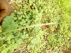 (Sehima - DNAFR000767)  @11 [ ] Copyrights (2014) Gujarat Biodiversity Gene Bank, GSBTM, DST, GoG Gujarat Biodiversity Gene Bank, GSBTM, DST, GoG