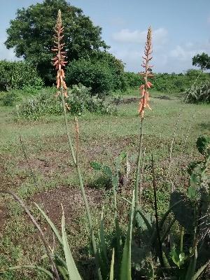 (Aloe vera - DNAFR001085)  @11 [ ] Copyrights (2015) Gujarat Biodiversity Gene Bank, GSBTM, DST, GoG Gujarat Biodiversity Gene Bank, GSBTM, DST, GoG