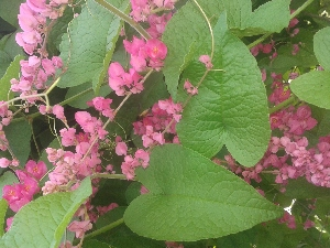 (Antigonon - DNAFR001283)  @11 [ ] Copyrights (2015) Gujarat Biodiversity Gene Bank, GSBTM, DST, GoG Gujarat Biodiversity Gene Bank, GSBTM, DST, GoG