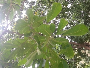 (Limonia - DNAFR000915)  @11 [ ] Copyrights (2014) Gujarat Biodiversity Gene Bank, GSBTM, DST, GoG Gujarat Biodiversity Gene Bank, GSBTM, DST, GoG