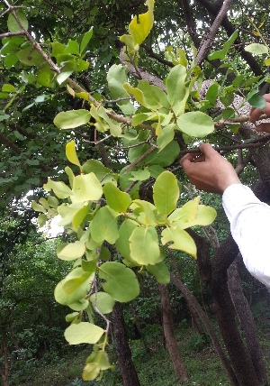 (Dendrophthoe - DNAFR000916)  @11 [ ] Copyrights (2014) Gujarat Biodiversity Gene Bank, GSBTM, DST, GoG Gujarat Biodiversity Gene Bank, GSBTM, DST, GoG