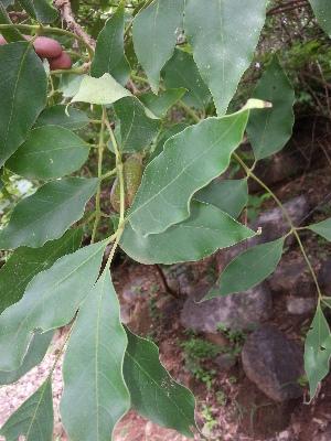 (Schrebera - DNAFR000919)  @11 [ ] Copyright (2014) Fernando Martinez Gujarat Biodiversity Gene Bank, GSBTM, DST, GoG
