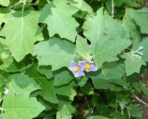(Solanum incanum - DNAFR000808)  @11 [ ] Copyrights (2014) Gujarat Biodiversity Gene Bank, GSBTM, DST, GoG Gujarat Biodiversity Gene Bank, GSBTM, DST, GoG