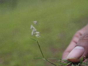 (Melanocenchris - DNAFR000781)  @11 [ ] Copyrights (2014) Gujarat Biodiversity Gene Bank, GSBTM, DST, GoG Gujarat Biodiversity Gene Bank, GSBTM, DST, GoG