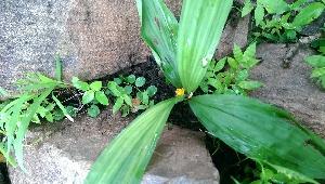 (Curculigo - DNAFR000783)  @11 [ ] Copyrights (2014) Gujarat Biodiversity Gene Bank, GSBTM, DST, GoG Gujarat Biodiversity Gene Bank, GSBTM, DST, GoG
