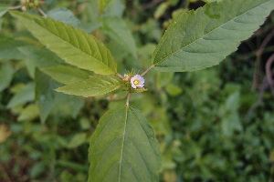 (Melochia - DNAFR000925)  @11 [ ] Copyrights (2014) Gujarat Biodiversity Gene Bank, GSBTM, DST, GoG Gujarat Biodiversity Gene Bank, GSBTM, DST, GoG