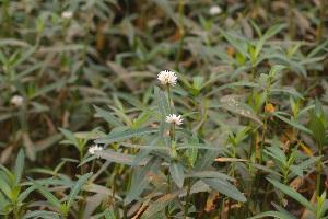 (Alternanthera paronychioides - DNAFR000934)  @11 [ ] Copyrights (2014) Gujarat Biodiversity Gene Bank, GSBTM, DST, GoG Gujarat Biodiversity Gene Bank, GSBTM, DST, GoG