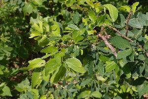 (Pithecellobium - DNAFR000952)  @11 [ ] Copyright (2014) Gujarat Biodiversity Gene Bank, GSBTM, DST, GoG Gujarat Biodiversity Gene Bank, GSBTM, DST, GoG