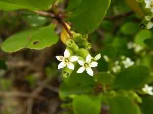 (Lumnitzera - DNAFR001294)  @11 [ ] Copyright (2015) Gujarat Biodiversity Gene Bank, GSBTM, DST, GoG Gujarat Biodiversity Gene Bank, GSBTM, DST, GoG