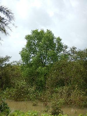 (Sonneratia - DNAFR001296)  @11 [ ] Copyrights (2015) Gujarat Biodiversity Gene Bank, GSBTM, DST, GoG Gujarat Biodiversity Gene Bank, GSBTM, DST, GoG