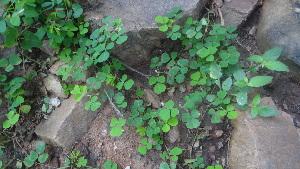 (Oxalidales - DNAFR000960)  @11 [ ] Copyrights (2014) Gujarat Biodiversity Gene Bank, GSBTM, DST, GoG Gujarat Biodiversity Gene Bank, GSBTM, DST, GoG