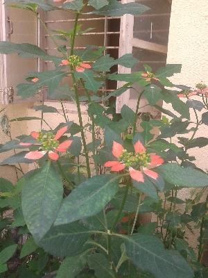 (Euphorbia heterophylla - DNAFR000963)  @11 [ ] Copyrights (2014) Gujarat Biodiversity Gene Bank, GSBTM, DST, GoG Gujarat Biodiversity Gene Bank, GSBTM, DST, GoG