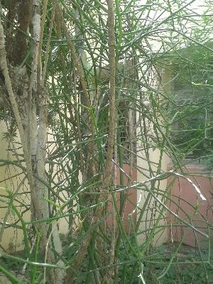 ( - DNAFR000966)  @11 [ ] Copyrights (2014) Gujarat Biodiversity Gene Bank, GSBTM, DST, GoG Gujarat Biodiversity Gene Bank, GSBTM, DST, GoG