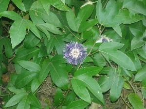 (Passiflora edulis - DNAFR000972)  @11 [ ] Copyrights (2014) Gujarat Biodiversity Gene Bank, GSBTM, DST, GoG Gujarat Biodiversity Gene Bank, GSBTM, DST, GoG
