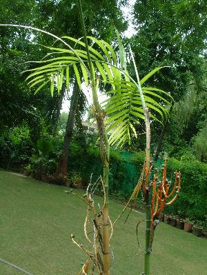 (Chamaedorea - DNAFR001092)  @11 [ ] Copyrights (2015) Gujarat Biodiversity Gene Bank, GSBTM, DST, GoG Gujarat Biodiversity Gene Bank, GSBTM, DST, GoG