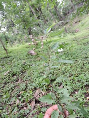 (Tylophora - DNAFR001330)  @11 [ ] Copyrights (2015) Gujarat Biodiversity Gene Bank, GSBTM, DST, GoG Gujarat Biodiversity Gene Bank, GSBTM, DST, GoG