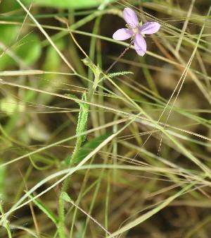 (Farsetia - DNAFR000987)  @11 [ ] Copyright (2015) Gujarat Biodiversity Gene Bank, GSBTM, DST, GoG Gujarat Biodiversity Gene Bank, GSBTM, DST, GoG
