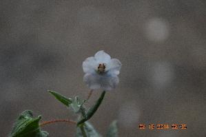 (Trichodesma - DNAFR001349)  @11 [ ] Copyright (2015) Gujarat Biodiversity Gene Bank, GSBTM, DST, GoG Gujarat Biodiversity Gene Bank, GSBTM, DST, GoG