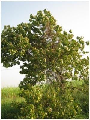 (Thespesia - DNAFR001215)  @11 [ ] Copyrights (2015) Gujarat Biodiversity Gene Bank, GSBTM, DST, GoG Gujarat Biodiversity Gene Bank, GSBTM, DST, GoG