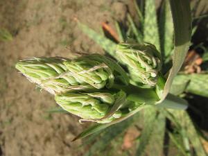 (Aloe madecassa - DNAFR001230)  @11 [ ] Copyrights (2015) Gujarat Biodiversity Gene Bank, GSBTM, DST, GoG Gujarat Biodiversity Gene Bank, GSBTM, DST, GoG