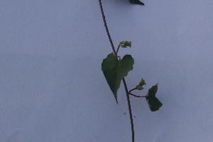 (Maramia - DNAFR000865)  @11 [ ] Copyright (2014) Gujarat Biodiversity Gene Bank, GSBTM, DST, GoG Gujarat Biodiversity Gene Bank, GSBTM, DST, GoG