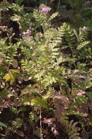 (Cyathocline - DNAFR001288)  @11 [ ] Copyright (2015) Gujarat Biodiversity Gene Bank, GSBTM, DST, GoG Gujarat Biodiversity Gene Bank, GSBTM, DST, GoG