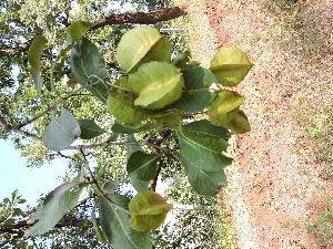 (Terminalia - DNAFR000874)  @11 [ ] Copyrights (2014) Gujarat Biodiversity Gene Bank, GSBTM, DST, GoG Gujarat Biodiversity Gene Bank, GSBTM, DST, GoG