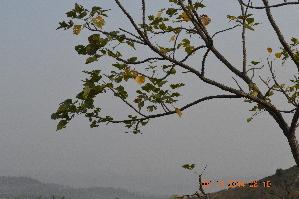 (Erythrina - DNAFR001264)  @11 [ ] Copyright (2015) Gujarat Biodiversity Gene Bank, GSBTM, DST, GoG Gujarat Biodiversity Gene Bank, GSBTM, DST, GoG